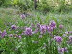 Mount Doug Wild Flowers: Click to enlarge